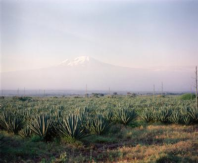 Color image of a field of spiky plants with a mountain range in the distant background