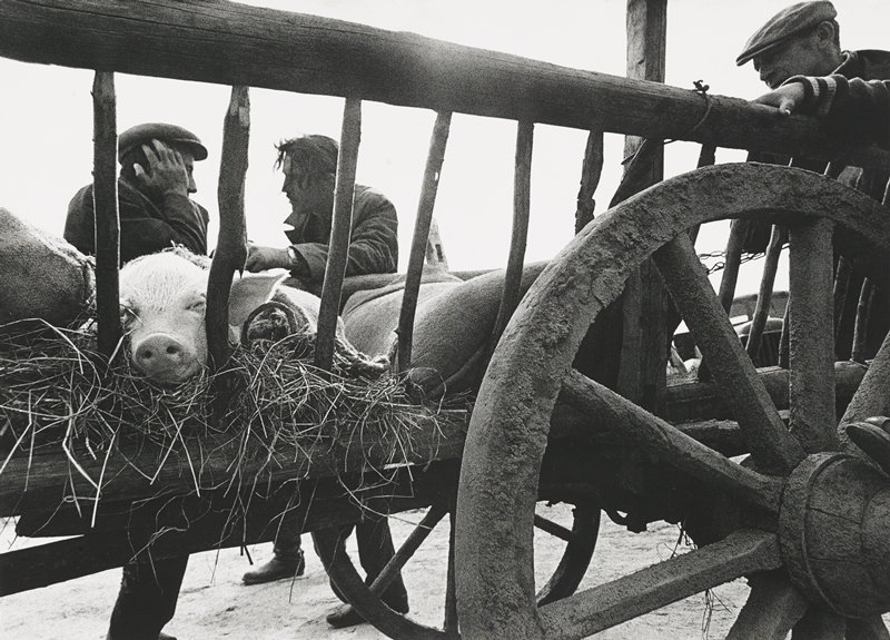 pig sleeping in straw in a cart; cart wheel, LLQ; three men in background