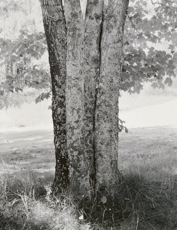 four joined tree trunks, growing together; trunks covered with moss; matted