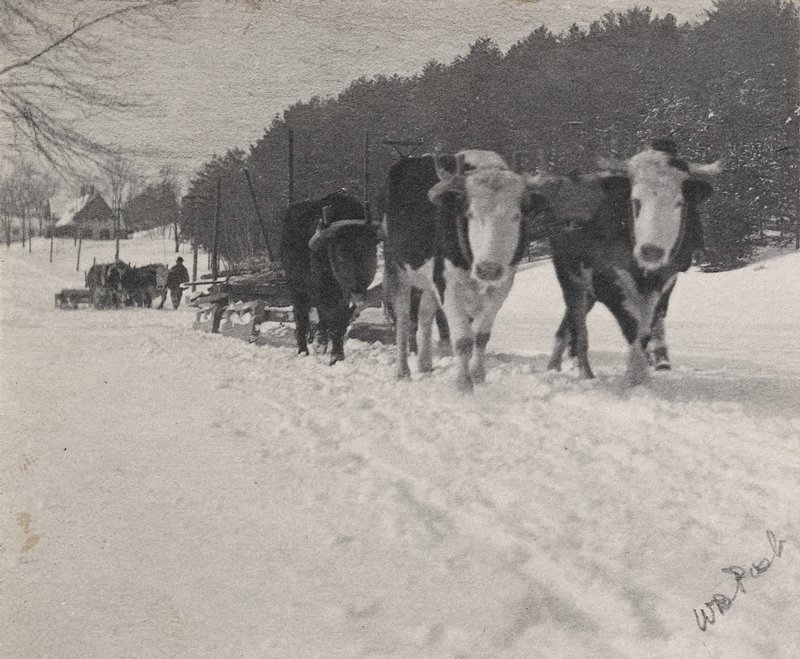 team of oxen, 2 spotted, pulling sledge; another team and sledge with man in background; row of trees at right; mounted on stiff paper