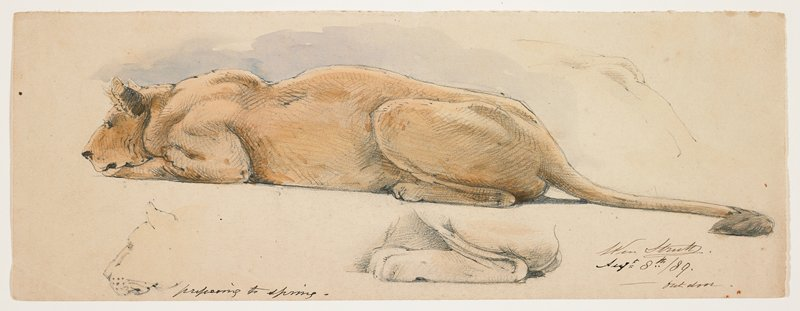 low-crouching lioness seen from PL side; studies of hips, face and PL leg of lioness around finished full figure