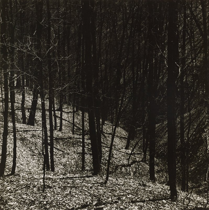bare trees on a gently sloping, leaf-covered hill