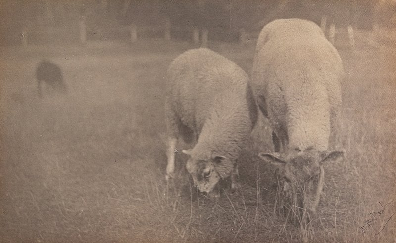 2 white sheep, larger at R, grazing in a pasture; blurry black animal in background at L