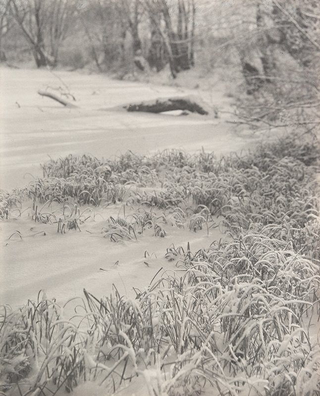 patch of tall grasses with snow clinging to them; trees and large fallen branch in background