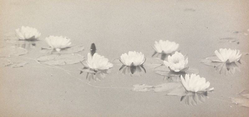 8 water lily blossoms