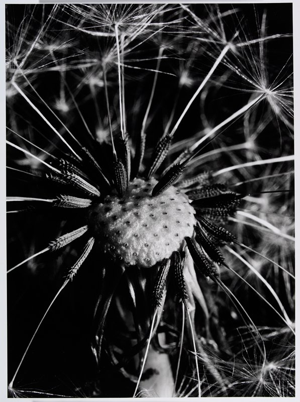 close-up of a dandelion gone to seed