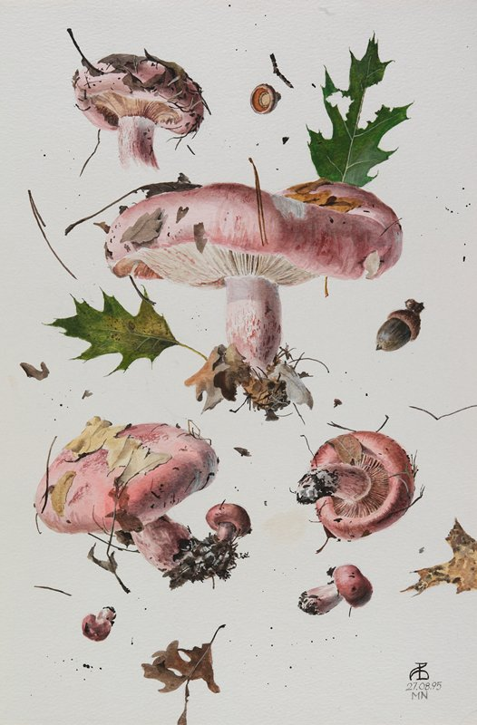 watercolor of 6 specimens of mushroom; pink and white; leaf, twig and acorn specimens between and around mushrooms; mounted and matted
