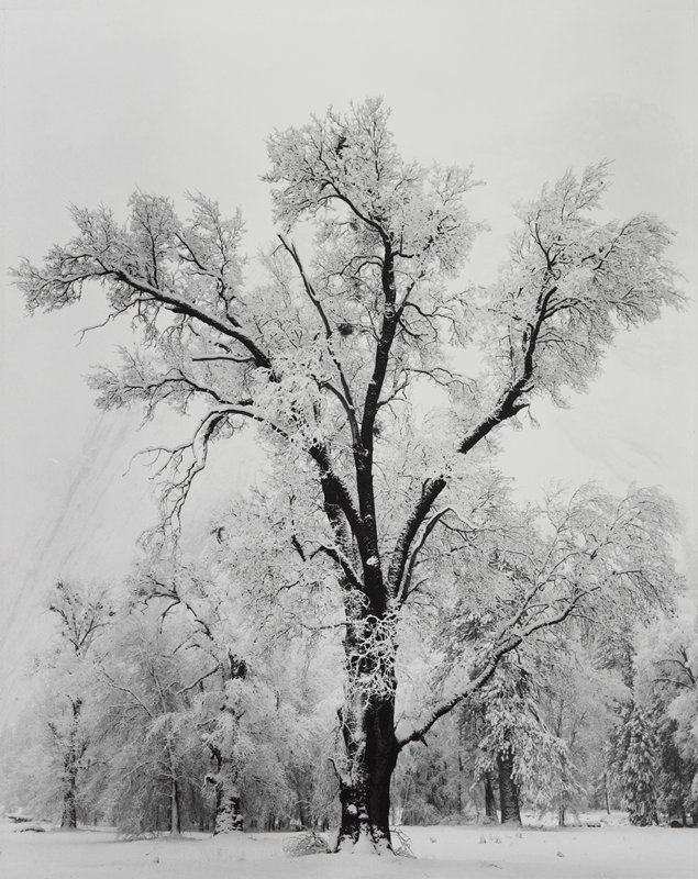 tall, leafless tree covered in snow, with other trees in background; light sky; light, shadowy mountain in background
