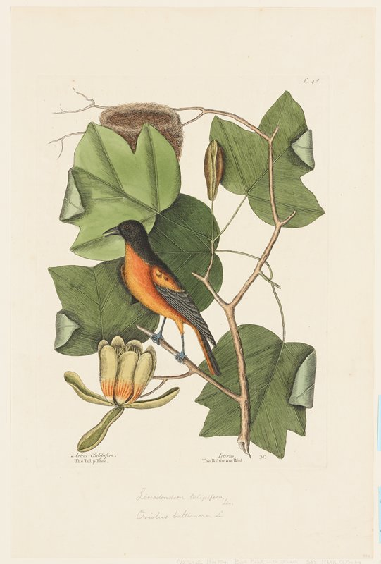 plate T48 (northern or Baltimore oriole)