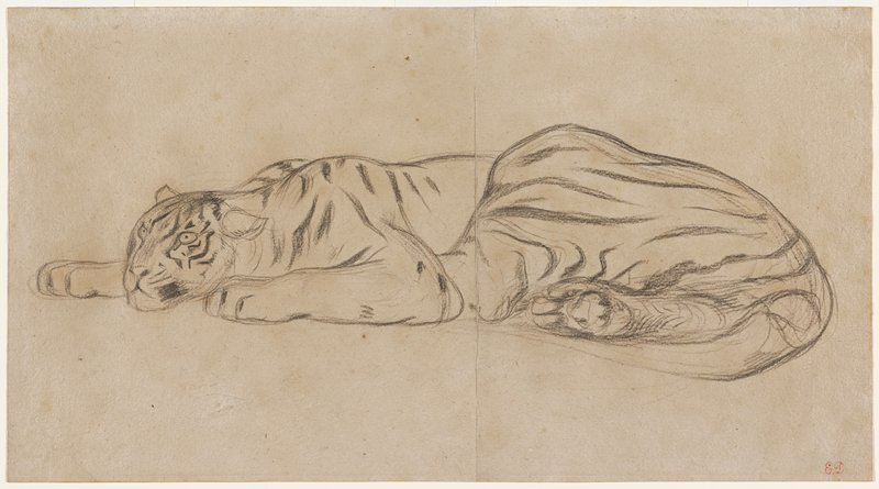 tiger lying down with eyes open