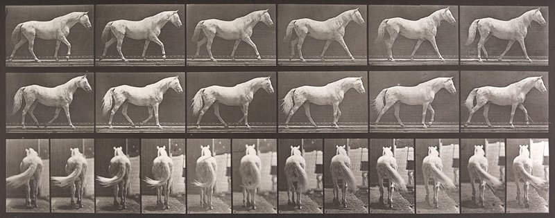 Walking, free, light gray horse. From a portfolio of 83 collotypes, 1887, by Edweard Muybridge; part of 781 plates published under the auspices of the University of Pennsylvania