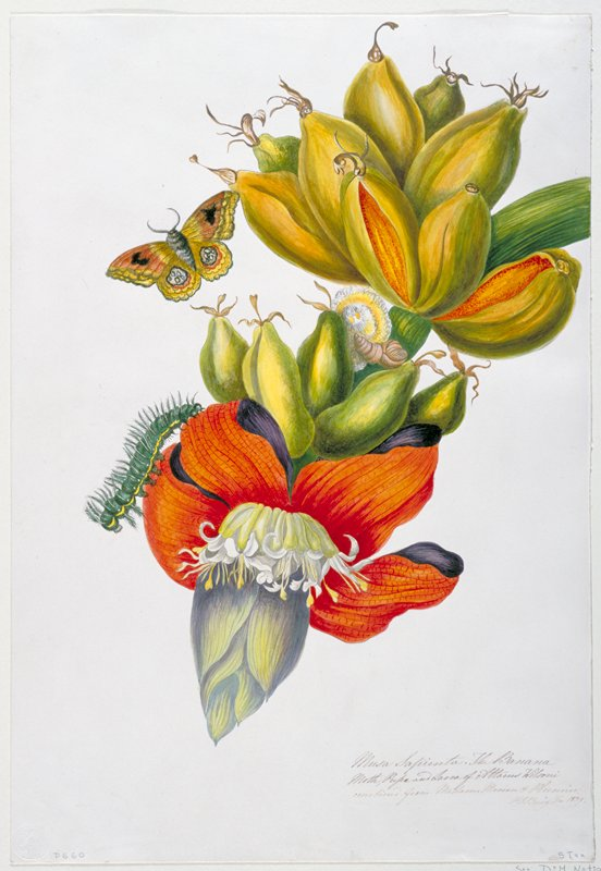 Combined from Madame Merian & Plumier. Botanical name: Musa x paradisiaca.