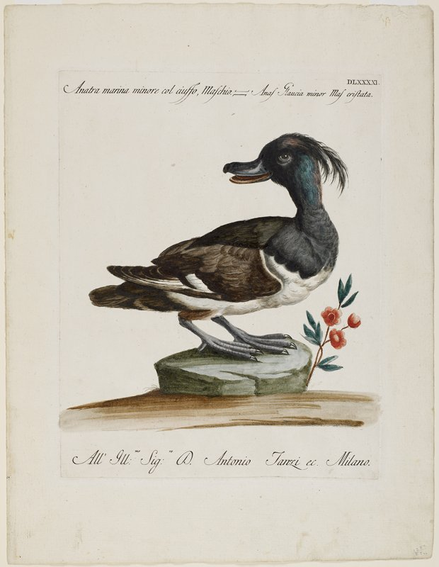 duck standing on a green rock, with head turned back; duck has feathery topknot; black, brown and white feathers; small branch with three red flowers to R of rock